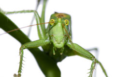 Grüne Heuschrecke Lizenzfreies Stockbild