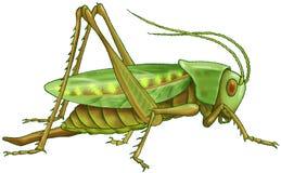 Grüne Heuschrecke stock abbildung