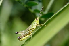 Grüne Heuschrecke Stockfoto