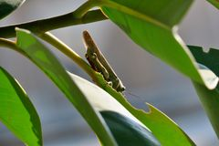 Grüne Heuschrecke auf Baum Blatt essend stockbild
