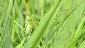 Grüne Heuschrecke auf Blatt des Grases stock footage