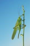 Grüne Heuschrecke auf der Zichorie Stockfotos