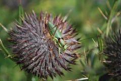 Grüne Heuschrecke auf einer Stachel-FARBE Lizenzfreie Stockbilder