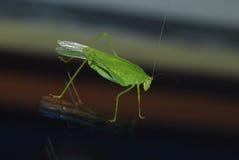 Grüne Heuschrecke auf Glas stockfoto