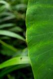 Grüne Heuschrecke, die an grünes Blatt hält Stockfoto