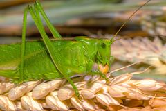 grüne Heuschrecke, die Weizenkörner, Nahaufnahme isst lizenzfreie stockbilder