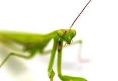 Grüne Heuschrecke, Gesicht konfrontierte den Fokus, lokalisiert auf weißem Hintergrund lizenzfreies stockfoto