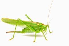 Grüne Heuschrecke lokalisiert auf einem weißen Hintergrund Stockfotografie