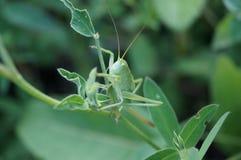 grüne Heuschrecke sitzt auf einem Gras Stockfotos
