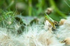 Grüne Heuschrecke sitzt umgeben durch unten mit Federn versieht Stockfotos