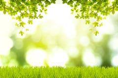 Grüne Hintergründe Bengal-Mandel Indische Mandel Seemandel stockfotos