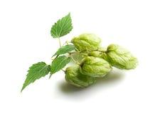 Grüne Hopfen Lizenzfreies Stockbild