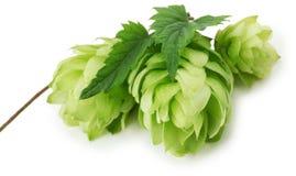 Grüne Hopfen lokalisiert auf dem weißen Hintergrund Stockfotos