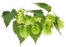 Grüne Hopfen lokalisiert auf dem weißen Hintergrund Stockbilder