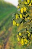 Grüne Hopfen - nahes hohes lizenzfreie stockfotografie