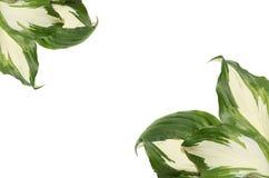 Grüne Hostablätter auf weißem Hintergrund Stockbilder