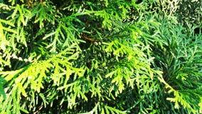 Grüne immergrüne Zypresse Stockfoto
