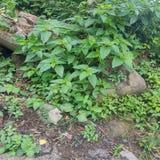 Grüne Ivy Wall Texture mit üppigem Laub Lizenzfreies Stockfoto