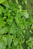 Grüne Ivy Wall Texture mit Blume des üppigen Laubs Lizenzfreie Stockfotografie