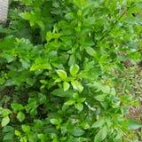 Grüne Ivy Wall Texture mit Blume des üppigen Laubs Stockbilder