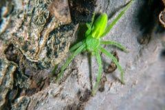 Grüne Jägerspinne Lizenzfreie Stockbilder
