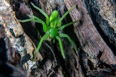 Grüne Jägerspinne Stockfotografie
