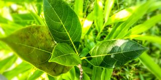 Grüne Jackfruitblätter lizenzfreie stockfotos