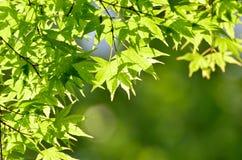 Grüne junge Blätter von Palmatum. Lizenzfreie Stockfotografie