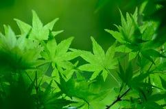 Grüne junge Blätter von Palmatum. Stockfoto