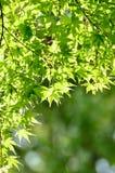 Grüne junge Blätter von Palmatum. Stockfotos