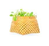 Grüne junge Sonnenblumensprösslinge Stockfotografie