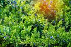 Grüne junge Wacholderbuschniederlassungen schließen oben Hintergrund mit Wacholderbusch b lizenzfreie stockfotos