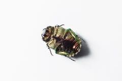 Grüne Käferinsekten-Lügentatzen oben auf einem weißen Hintergrund Stockfoto