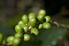 Grüne Kaffeebohnen Lizenzfreie Stockfotografie