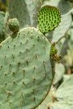 Grüne Kaktus-Felder Stockbild