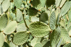 Grüne Kaktus-Felder Lizenzfreie Stockfotos