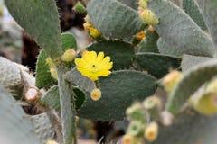 Grüne Kaktuspflanzenahaufnahme Stockfotos
