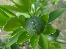 Grüne Kalkfrucht auf dem Baum Lizenzfreies Stockbild