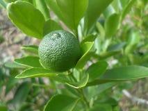 Grüne Kalkfrucht auf dem Baum Stockbilder
