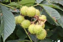 Grüne Kapseln der Rosskastanie auf Baum Lizenzfreies Stockfoto
