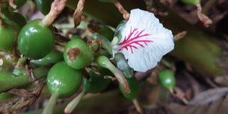 Grüne Kardamompflanze lizenzfreies stockfoto