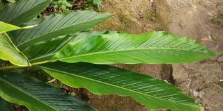 Grüne Kardamompflanze stockbilder