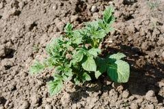 Grüne Kartoffeloberteile auf dem losen Boden Stockfotografie