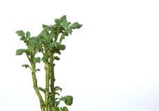 Grüne Kartoffelsprösslinge Lizenzfreie Stockfotos
