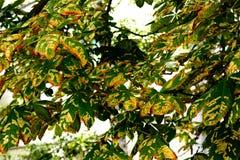 Grüne Kastanieblätter in der schönen Leuchte Lizenzfreie Stockfotografie