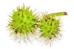 Grüne Kastanienfrüchte, Abschluss oben Stockfoto