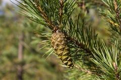 Grüne Kegel des Kiefer bedikah Baum, pinecone, Natur Stockfotos
