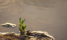 Grüne Keimungs-Anlage, die durch Seite des wasser- natürlichen Hintergrundes wächst - Botanik - Biologie - Hoffnung und Aspiratio stockbild