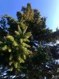 Grüne Kiefer im Herbst stockbild