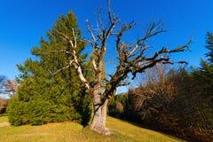Grüne Kiefer und blattlose Baum-Eiche Stockfotografie